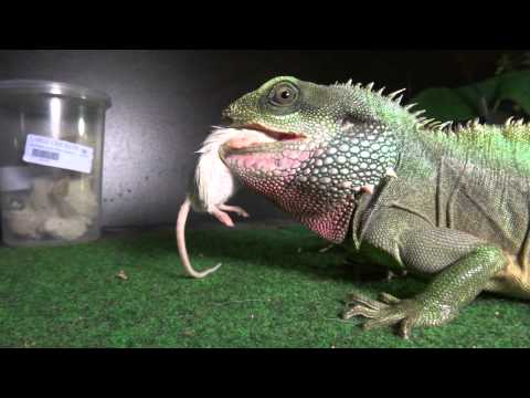 Chinese Water Dragon Feeding