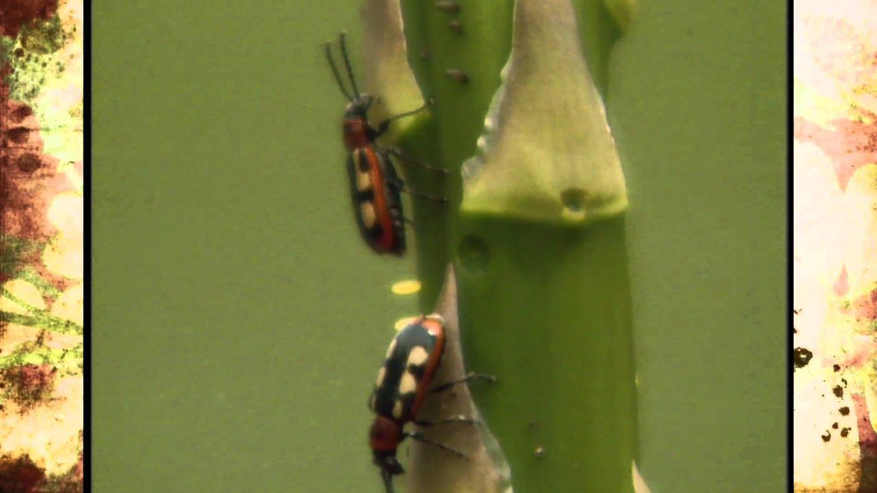 Asparagus Beetle Control: Asparagus Beetle