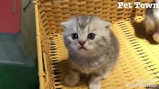 Bé mèo tai cụp cực đáng yêu