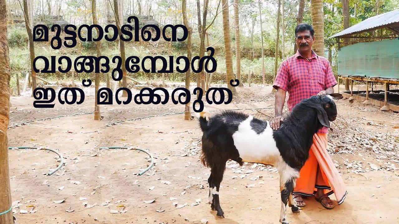 ആട് വളർത്തൽ   മുട്ടനാടിൻ്റെ  പരിപാലന രീതി   Goat Farming   Breeding Buck