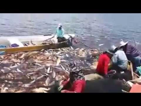 Ikan Kakap Merah Hasil tangkapan Nelayan kampung PUNANG LAWAS MALAYSIA