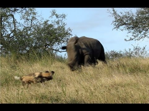 Thumbnail: Rhinos Charge Wild Dogs