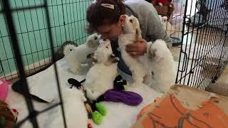 Coton Puppies For Sale - Kara 11/17/20