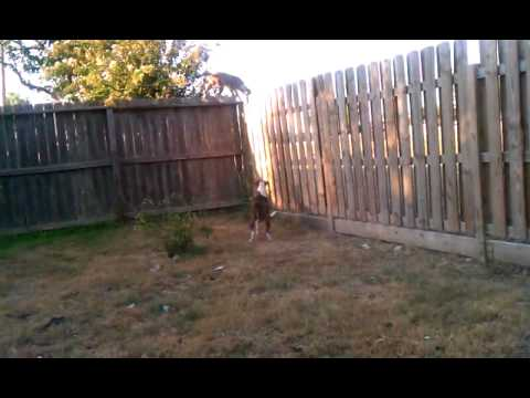 Fence Jumping Dog Stopped By Homemade Coyote Roller Lose