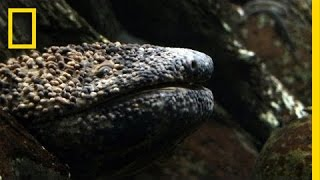 Giant Salamander As Big As a Dog | National Geographic