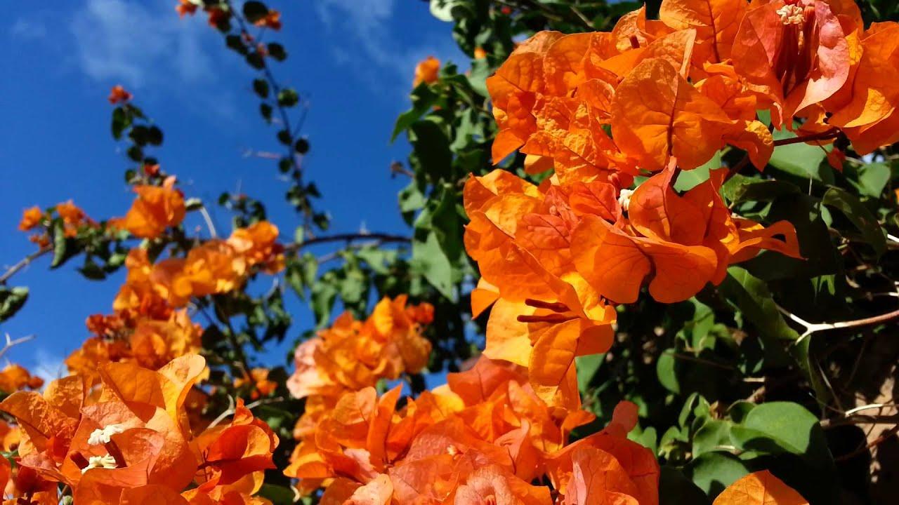 Buganvillia Plant Orange Flowers Bougainvillea Hawaiian Gold