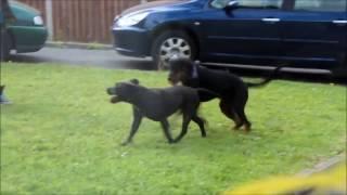 Staffordshire Bull Terrier Vs Rottweiler Fight