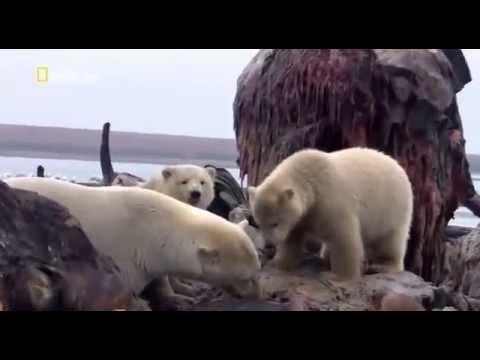 видео нападение белых медведей