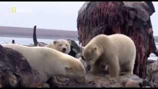 Гризли против белого медведя