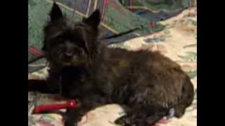 In Deepest Loving Memory Kyra The Feisty, Cairn Terrier