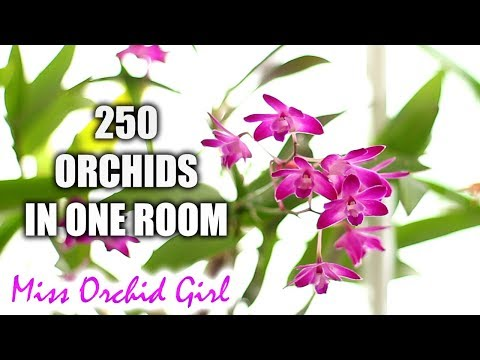 How I grow various Orchids in one room - My 'secret' revealed!