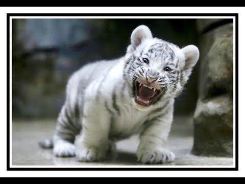 Foto anak harimau putih 95