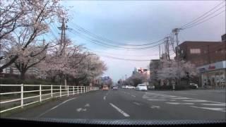 熊本市東区 「 健軍自衛隊通りの桜 」