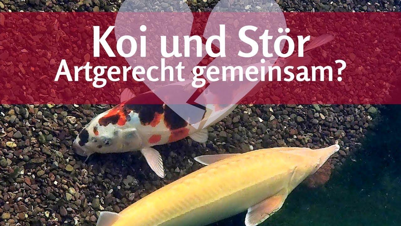 Geliebte Koi und Stör: Vorsicht bei gemeinsamer Haltung im Teich! - YouTube &TI_64