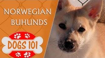 Dogs 101 -  Norwegian Buhunds - Top Dog Facts About the  Norwegian Buhunds