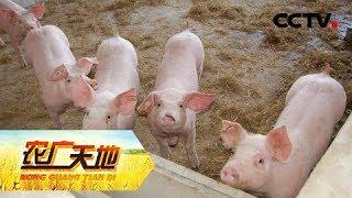 《农广天地》 20190508 猪宝宝断奶不掉膘| CCTV农业