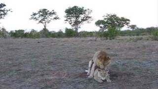 LIONS MATING AFRICAN SAFARI
