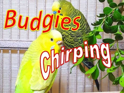 157 Min Budgies Chirping, Happy Parakeets Sounds From Summer