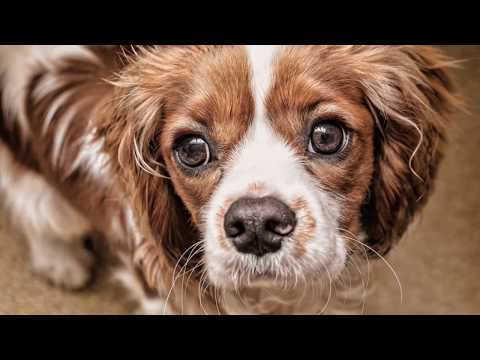Cavalier King Charles Spaniel Dog Breed - Quick Facts