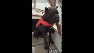 Cane Corso falling asleep on the boat
