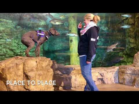 Best Dog Training in Toledo! Veta- 8 Month Old Weimaraner- Before/After Two Weeks