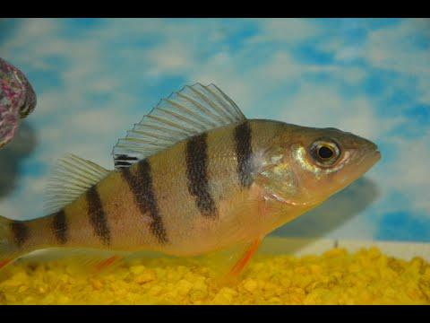 ДИКИЙ окунь в аквариуме с рыбками