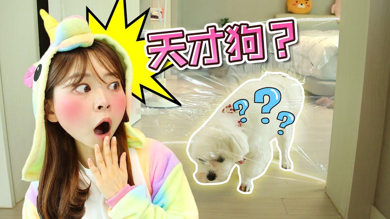 給coco設置了透明墻,它會有什麼有趣反應呢?小伶玩具 | Xiaoling toy - YouTube