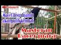 Kicaumania Masteran Gacor Masteran Kacer Suara Jernih  Mp3 - Mp4 Download