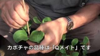 菜園作業/キュウリの断根挿し接ぎ thumbnail