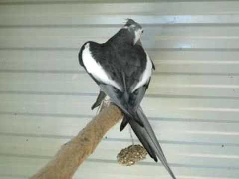 Singing cockatiel (mating call)