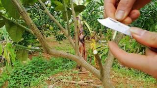 Cách ghép cam, chanh vào bưởi. Chơi cây đa dạng quả