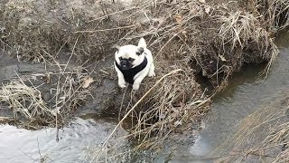 Chief The Pug - Jumping Over Creek
