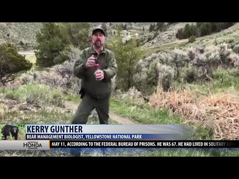 Being Bear Aware: Yellowstone biologist talks bear safety