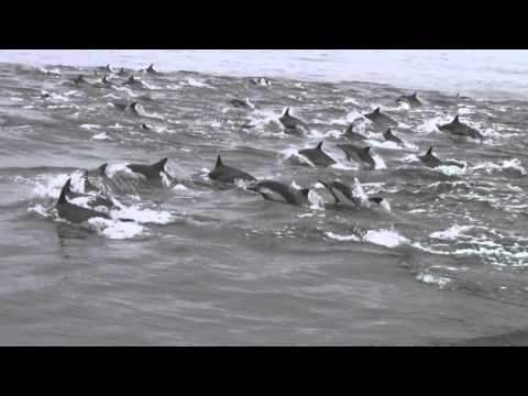 Long-beaked Common Dolphin Stampede