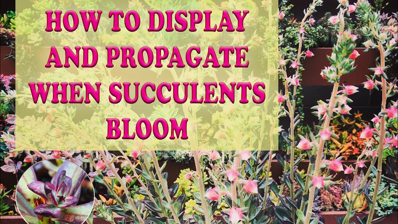 How To Display And Propagate When Succulents Bloom Echeveria