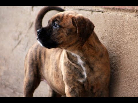 Golden Boxer Golden Retriever Boxer Mix Youtube