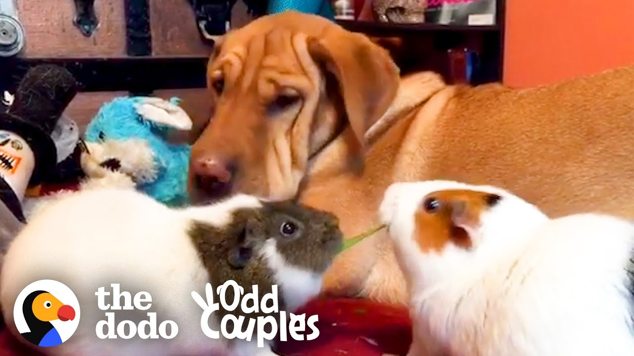 Dog And Guinea Pigs Are Obsessed With Eating Lettuce Together | The Dodo Odd Couples