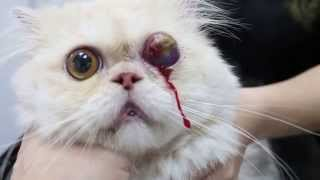 A 3-year-old Persian cat had an eyeball prolapse
