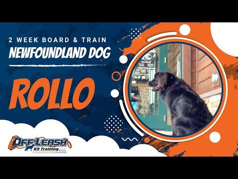 Newfie Rollo   Newfoundland Dog Training   Off Leash K9   Nova Dog Trainers