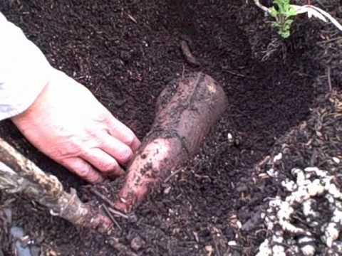 how to keep artichoke tubers from sprouting