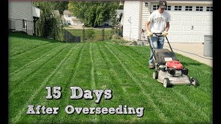 15 Days After Overseeding Perennial Ryegrass, More Mowing, Mil…