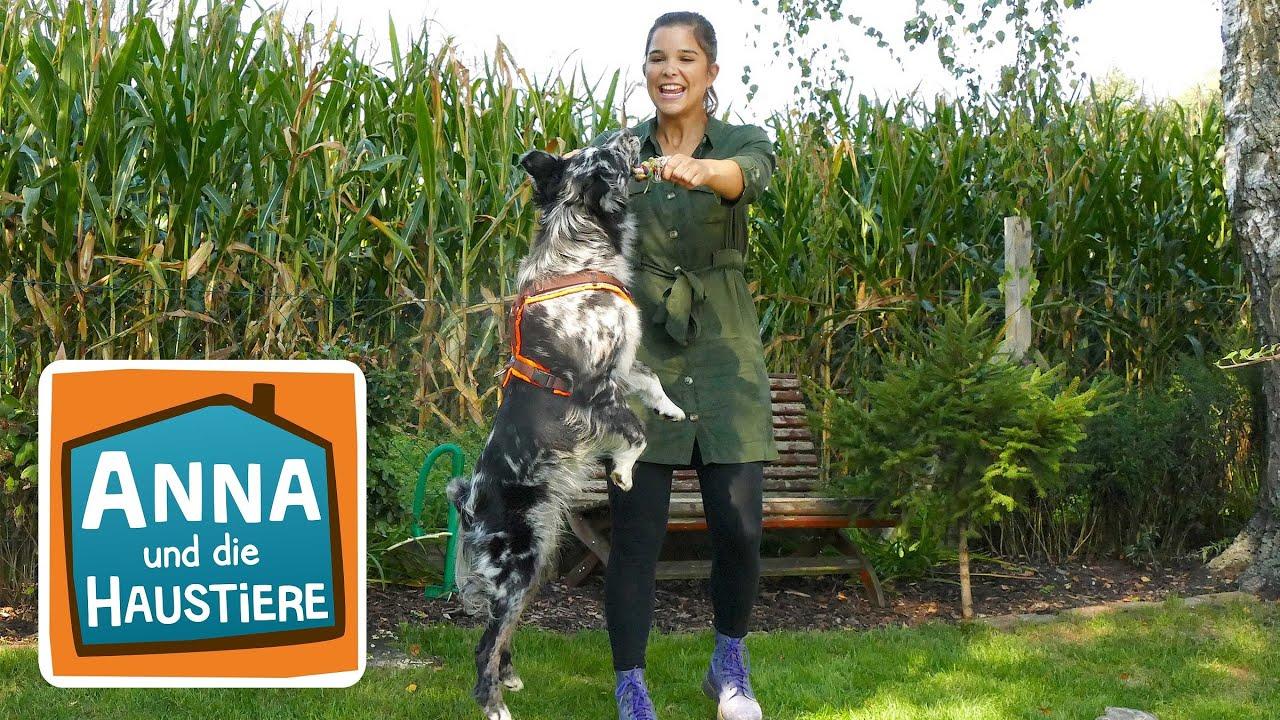 Australian Shepherd Information Fur Kinder Anna Und Die Haustiere Youtube