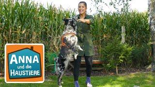 Australian Shepherd | Information für Kinder | Anna und die Haustiere