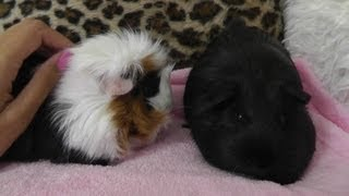 Our Guinea Pigs: Care, Grooming, Housing