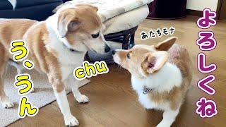子犬と先輩犬の距離が近づいた!?【コーギー】