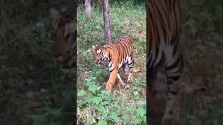 Tiger Sighting at Kabini - long