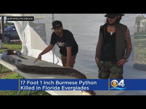 Python Hunter Catches Massive 17-Foot Python In Everglades