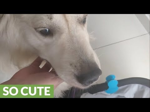 Gentle doggy anxious to meet newborn baby