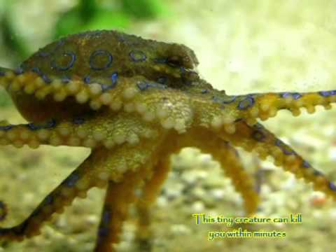 DEADLY Blue-ringed octopus in a pet store