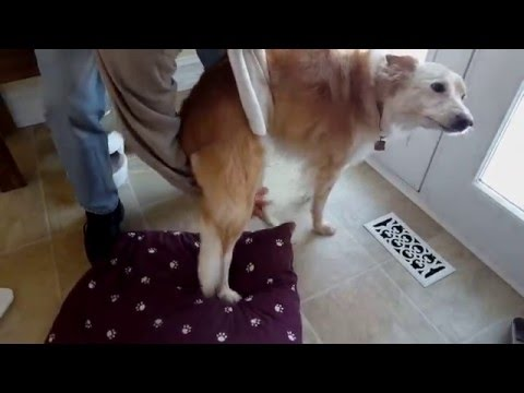 Sandy the Dog - Slipped Disc - Video #1